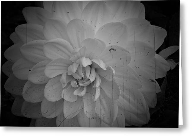 White Dahlia Bw Processed Greeting Card