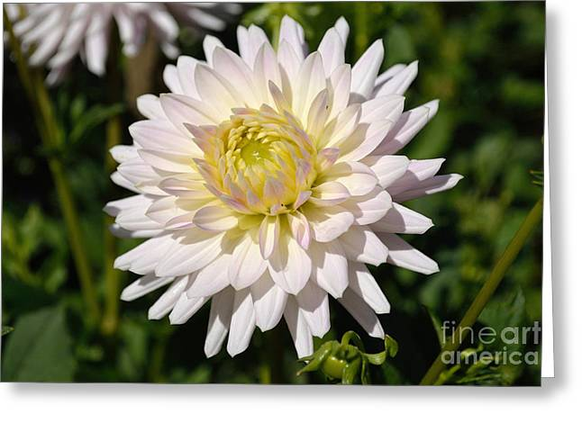 White Dahlia Flower Greeting Card
