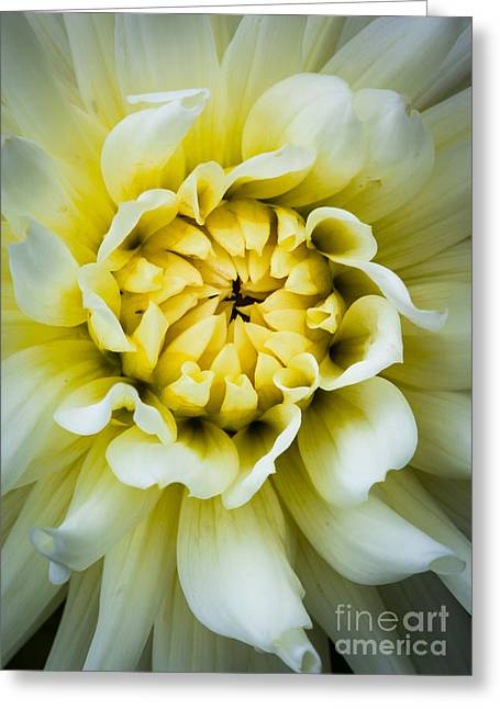 White Dahlia Greeting Card by Inge Johnsson