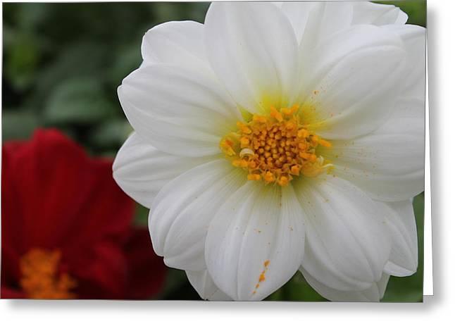 White Dahlia Greeting Card by Kristi Schmit