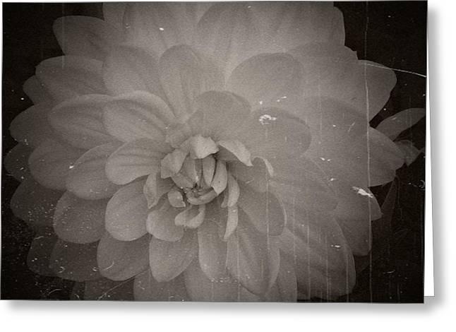 White Dahlia Processed 2 Greeting Card