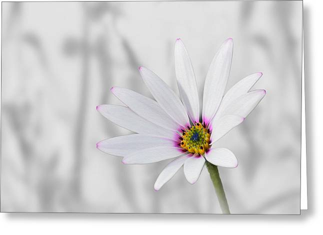 White Daisy Bush Greeting Card