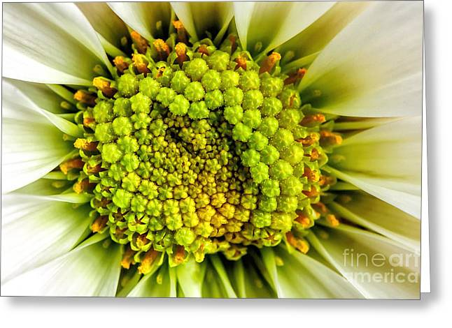 White Daisy Center Greeting Card by Madonna Martin