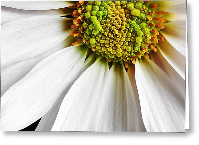 White Daisy Closeup Greeting Card by Madonna Martin