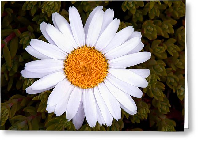 White Daisy In Bloom Greeting Card by Gary Slawsky