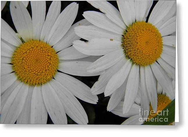 White Daisy In Full Bloom Greeting Card