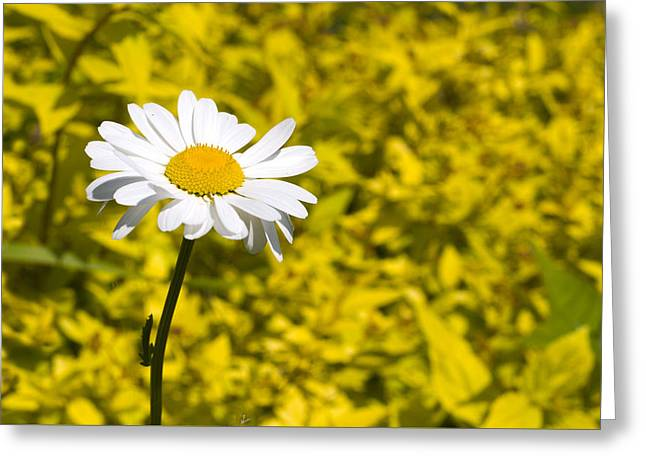 White Daisy In Yellow Garden Greeting Card