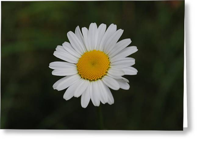 Greeting Card featuring the photograph White Daisy by Robert  Moss