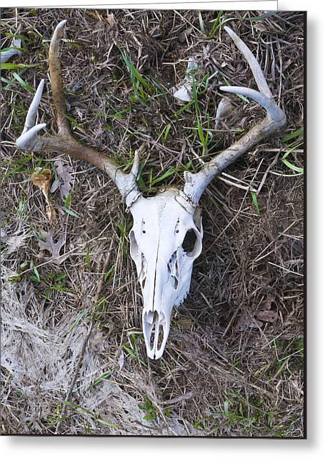 White Deer Skull In Grass Greeting Card