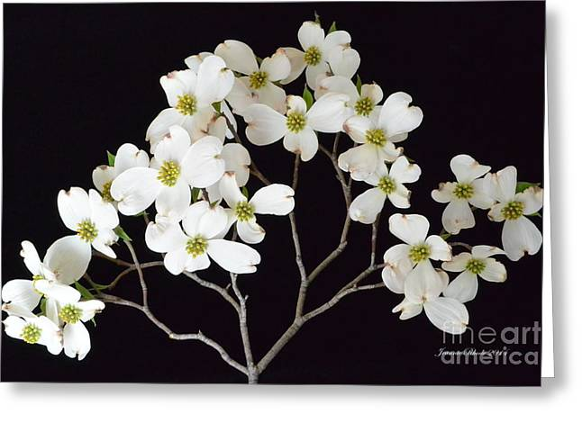 Greeting Card featuring the photograph White Dogwood Branch by Jeannie Rhode