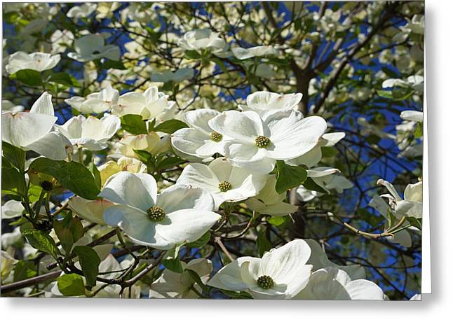 White Dogwood Flower Blossoms Art Prints Trees Greeting Card by Baslee Troutman
