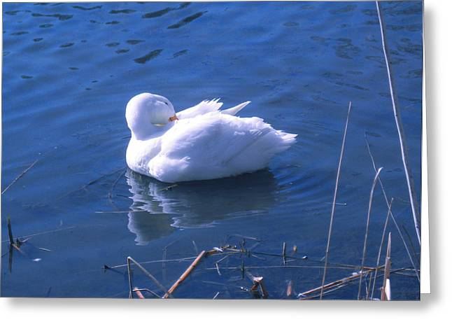 Greeting Card featuring the photograph White Duck by David Klaboe