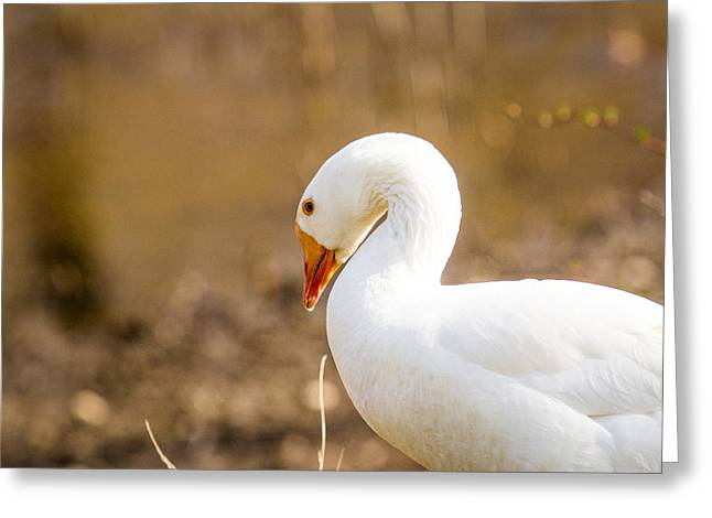 Greeting Card featuring the photograph White Duck by Eleanor Abramson