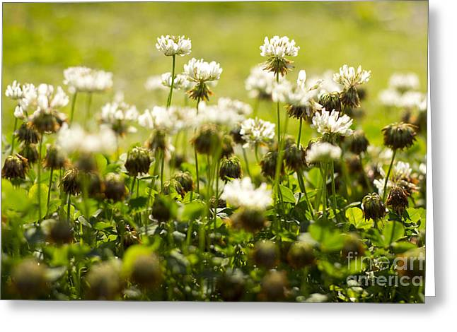 White Dutch Clover Wild Plants In The Sunshine Greeting Card