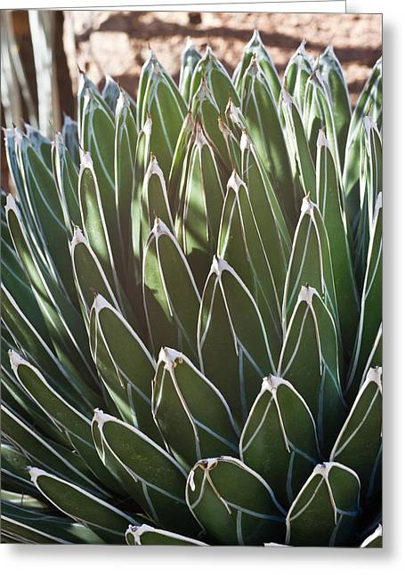 White Edged Cactus Stems Greeting Card by Douglas Barnett