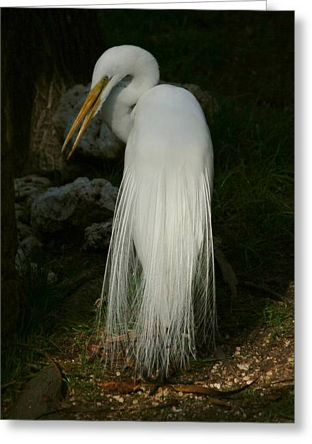Greeting Card featuring the photograph White Egret In The Shadows by Myrna Bradshaw