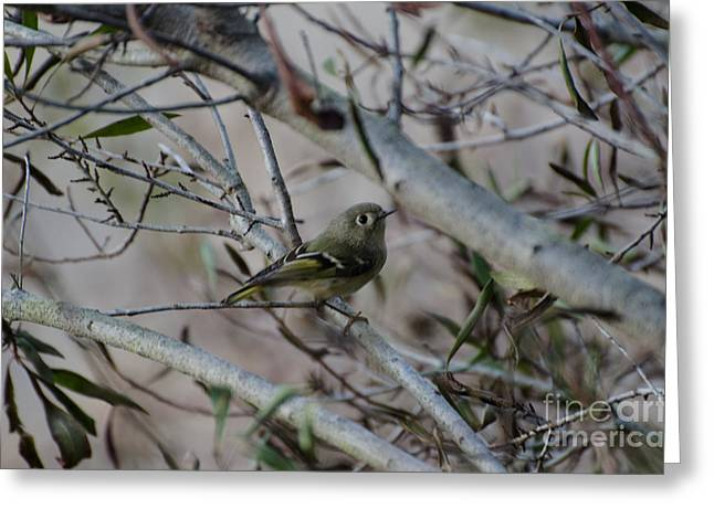 White-eyed Vireo Greeting Card by Donna Brown