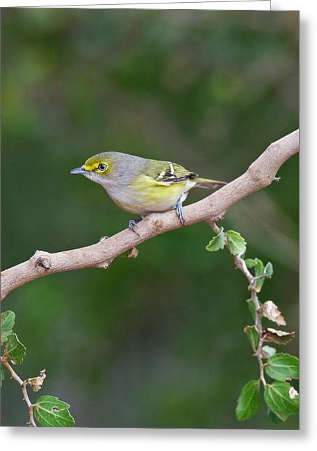White-eyed Vireo (vireo Griseus Greeting Card by Larry Ditto