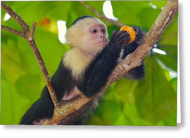 White-faced Capuchin Greeting Card by Brian Magnier