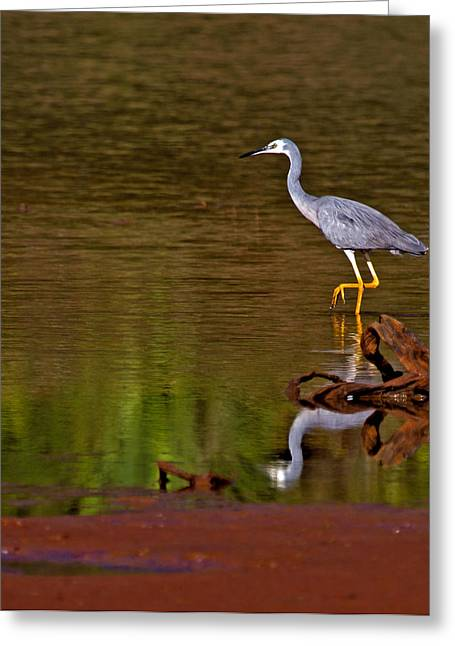 White Faced Heron And His Reflection Greeting Card
