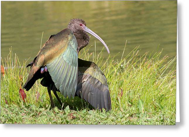 Greeting Card featuring the photograph White-faced Ibis 1 by Bob and Jan Shriner