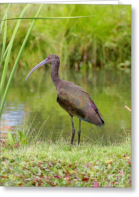 Greeting Card featuring the photograph White-faced Ibis 2 by Bob and Jan Shriner