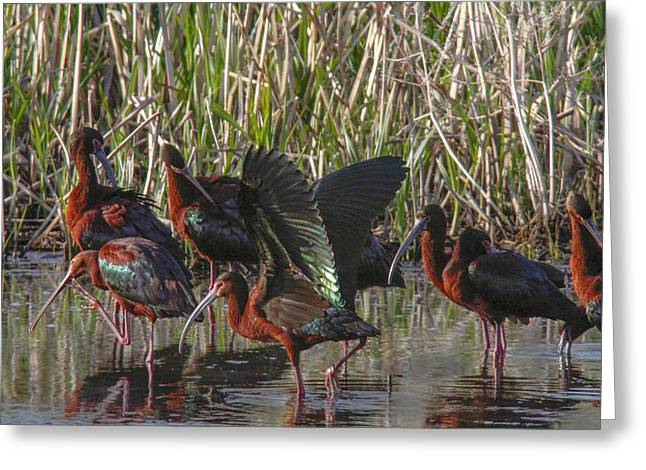 White-faced Ibis  Greeting Card by Jill Bell