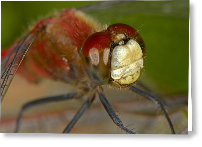 White-faced Meadowhawk Greeting Card by Tony Beck