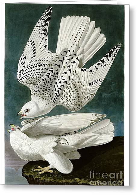 White Falcon Greeting Card by Celestial Images