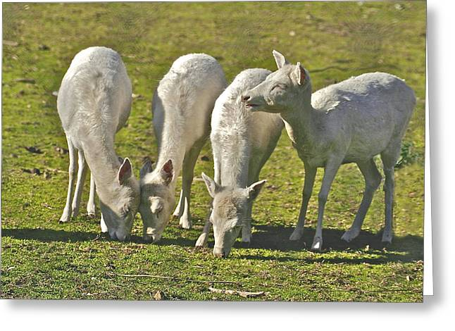 White Fallow Deer Mt Madonna County Park Greeting Card