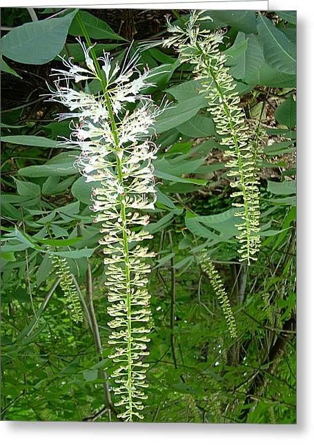 White Fern Greeting Card by Aimee L Maher Photography and Art Visit ALMGallerydotcom