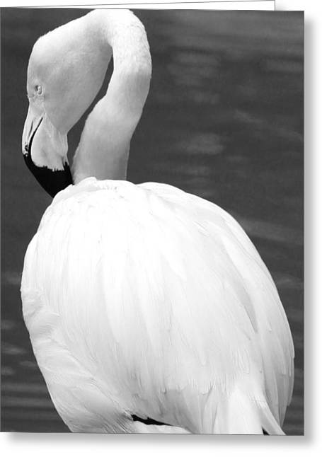 White Flamingo Greeting Card by Jp Grace