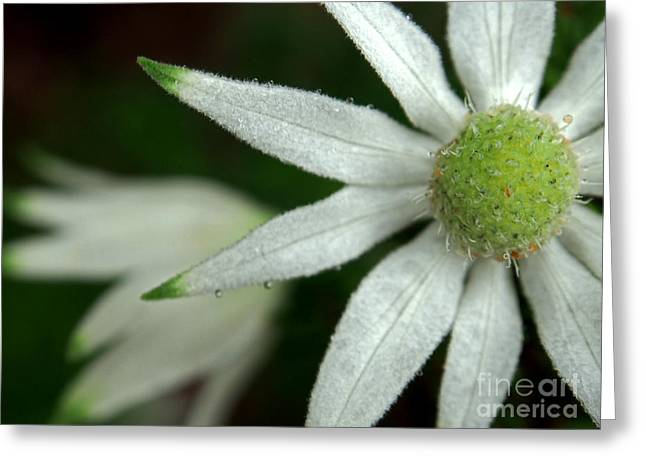 White Flannel Flowers Greeting Card by Kaleidoscopik Photography
