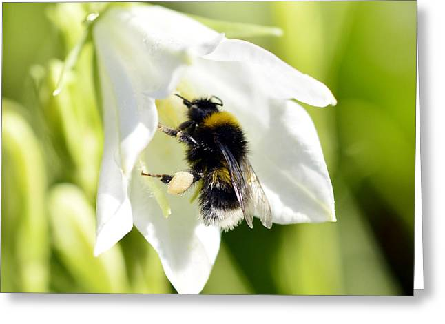 White Flower And Bumblebee Greeting Card