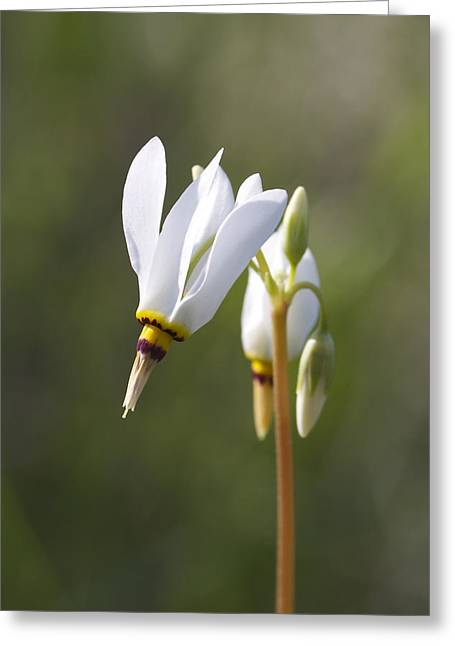 White Flower Greeting Card by David Tennis