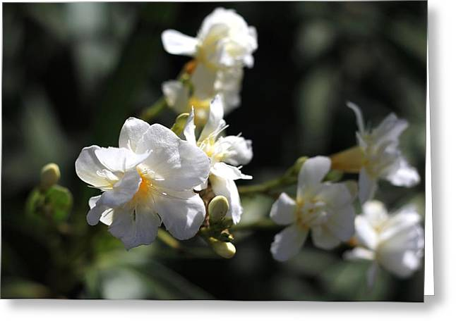 White Flower - Early Spring Time Greeting Card by Ramabhadran Thirupattur