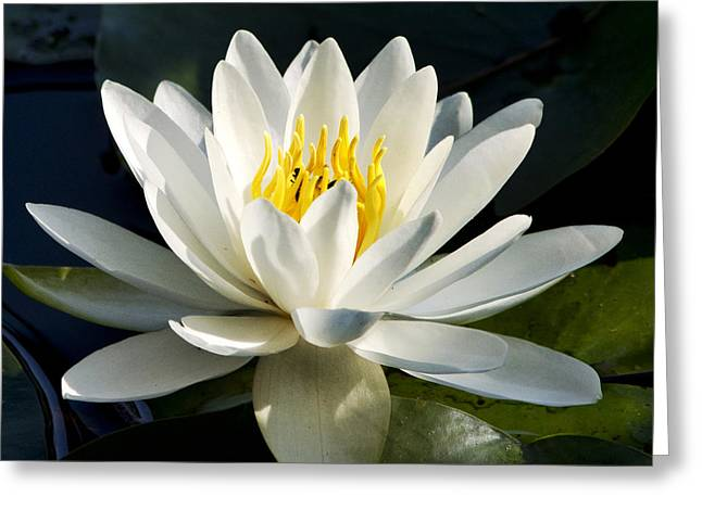 White Water Lily Greeting Card by Christina Rollo