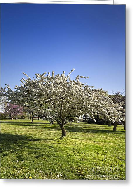 White Flowering Cherry Blossom Tree In A Park Greeting Card by Brandon Alms