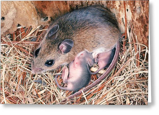 White-footed Mouse With Young Greeting Card by Millard H. Sharp