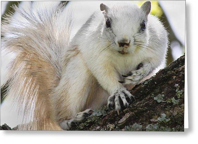 White Fox Squirrel Greeting Card by Betsy Knapp