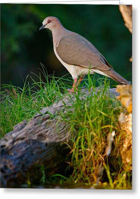 White-fronted Dove Greeting Card