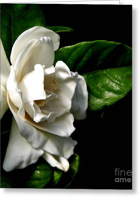 Greeting Card featuring the photograph White Gardenia by Rose Santuci-Sofranko