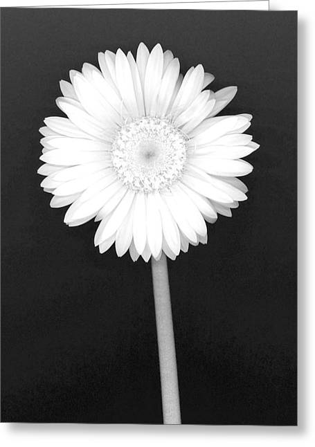 White Gerbera Daisy - Infrared Greeting Card