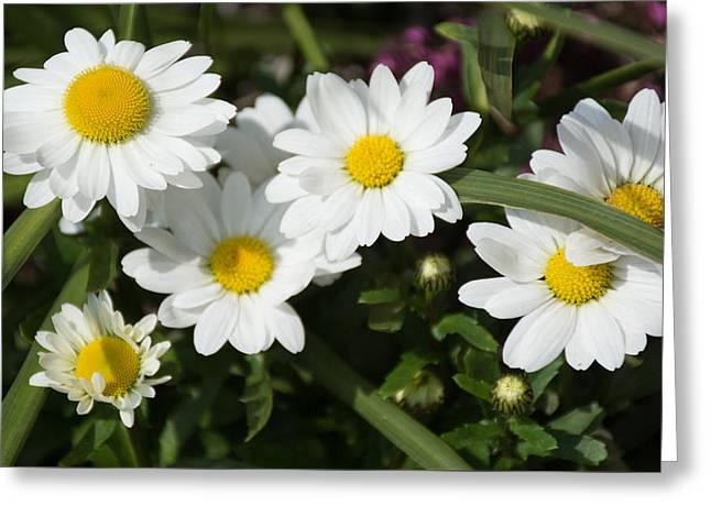 White Gerbera Daisy Greeting Card by Priyanka Ravi