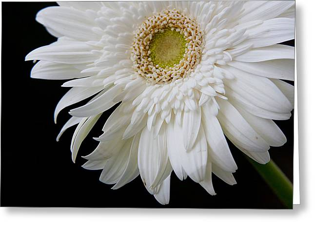 White Gerbera Greeting Card by Vanessa Thomas