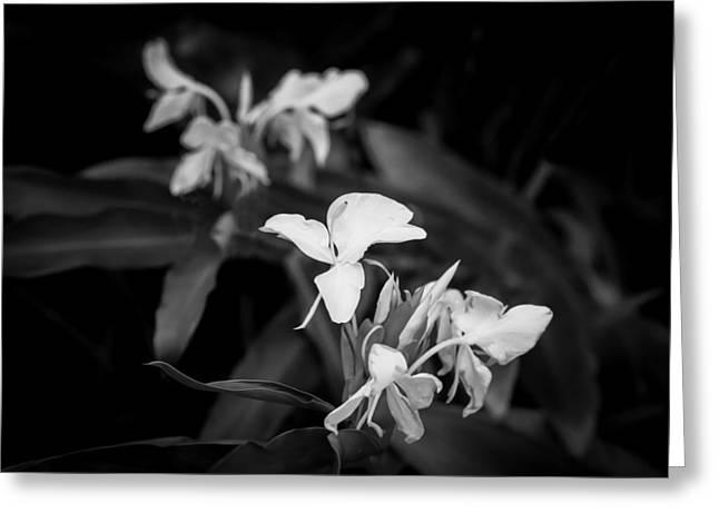 White Ginger Flowers H Coronarium Painted Bw   Greeting Card