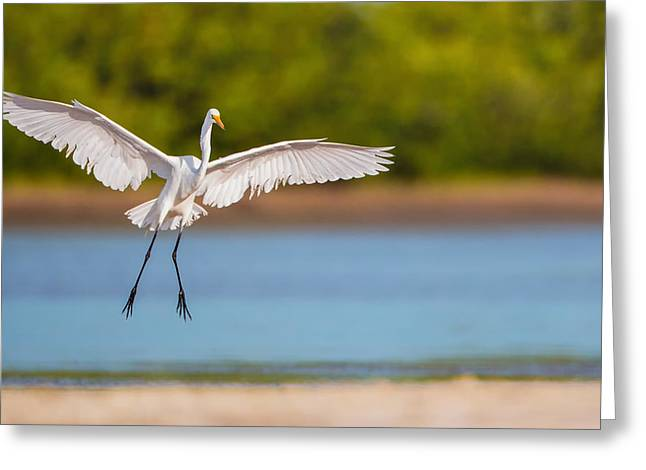 White Heron Landing Graciously Greeting Card by Andres Leon
