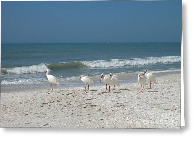 White Ibis In Naples Florida Greeting Card