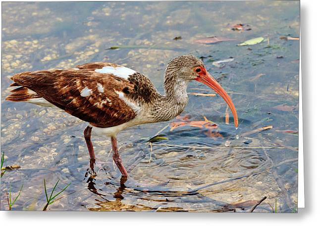 White Ibis Juvenile Greeting Card