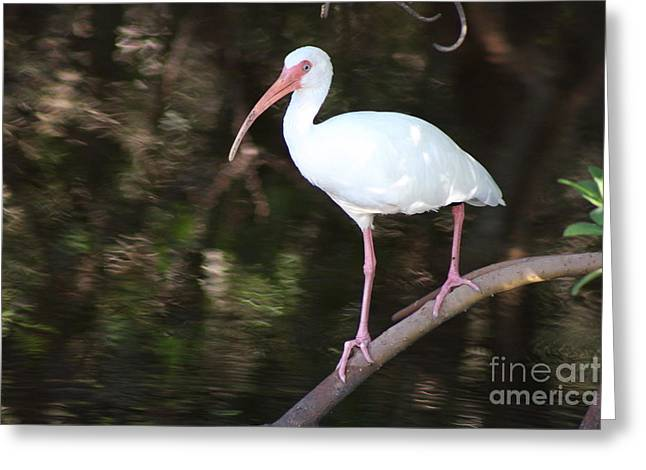 White Ibis On Mangrove Limp Greeting Card by Christiane Schulze Art And Photography